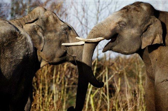 Elefante, tráfico de marfil, foto vía AFP
