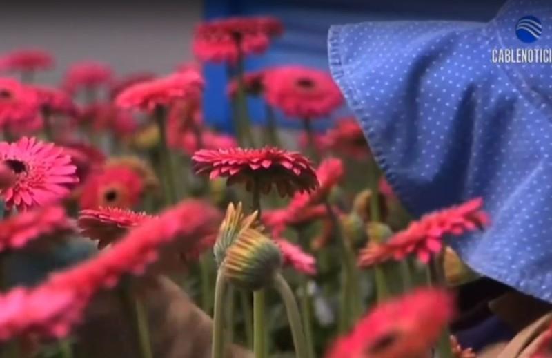 Flores-Rosadas-CultivoCN