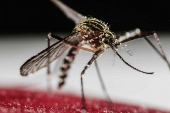 mosquito Zika Espectador