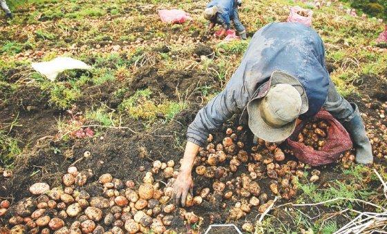 campesinos cultivo espectador