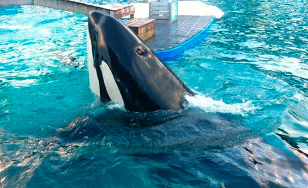 Escuche la primera orca capaz de reproducir palabras como 'hola' y 'adiós'
